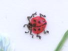 ladybug aunan