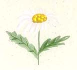daisy painted card aunan